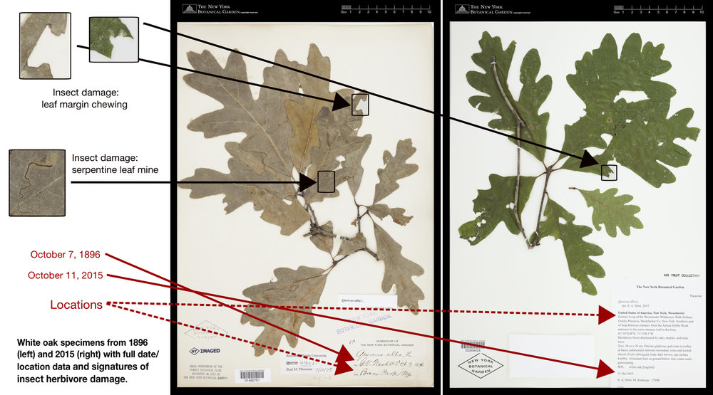 This figure exemplifies the timespan covered by herbarium specimens, along with the date, location, and herbivory data therein. To read the text, click on the image for a larger version.