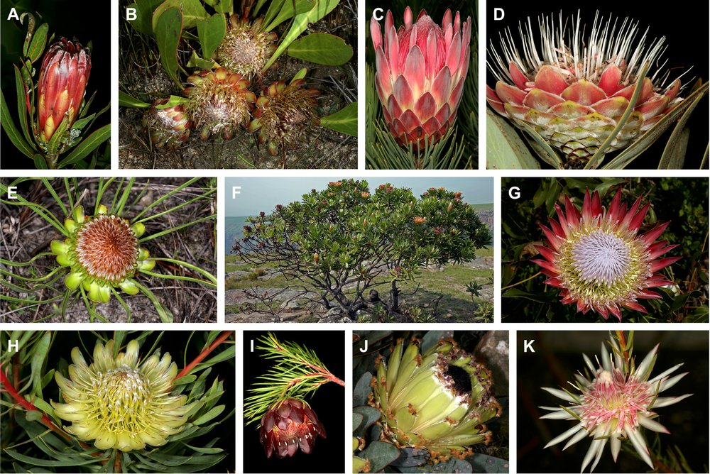 The genus  Protea  (Proteaceae) is the focus of a collaborative project I am part of separating effects of temperature change over space and time on flowering.