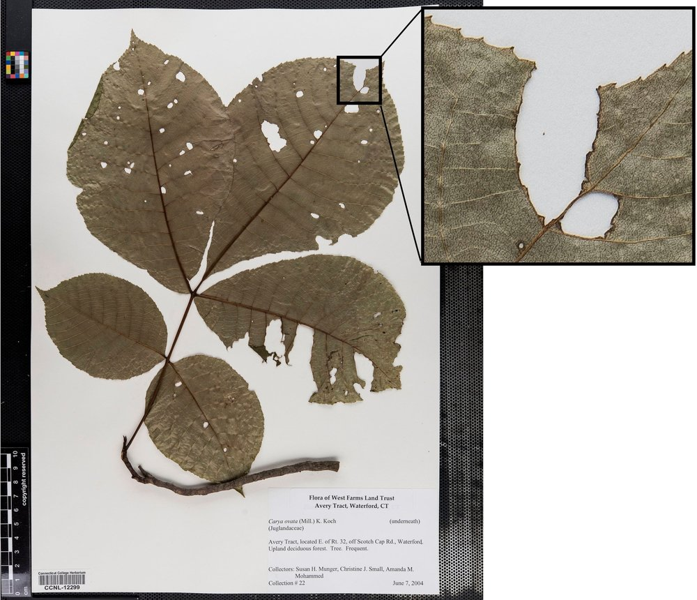 I built a system to quantify insect damage on herbarium specimens, greatly increasing the time and spatial scales at which herbivory can be studied. This is a zoomed in section of an herbarium specimen showing insect chewing damage.