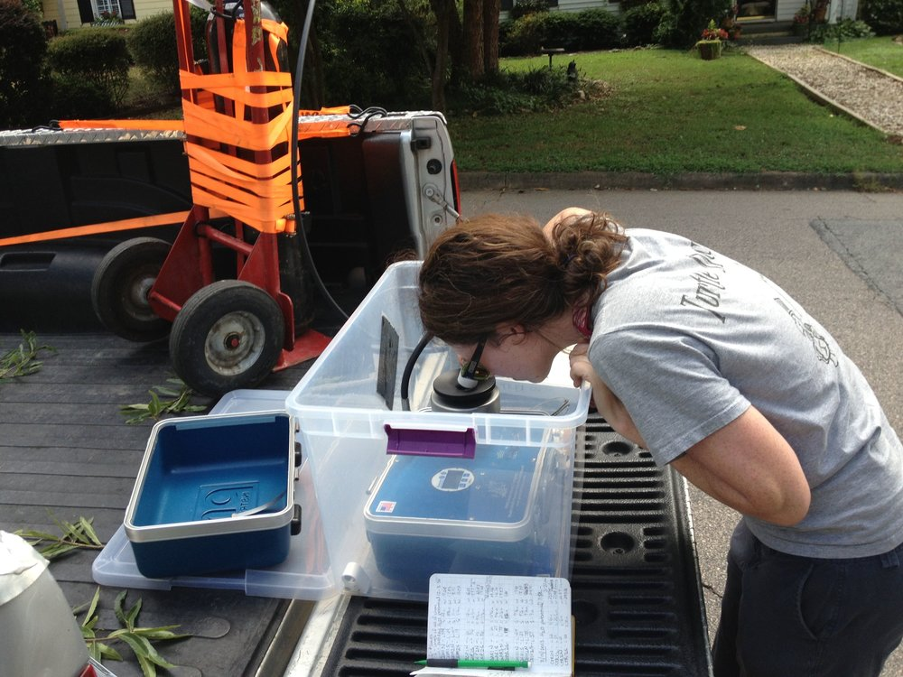 Emily studying water stress in urban willow oak trees
