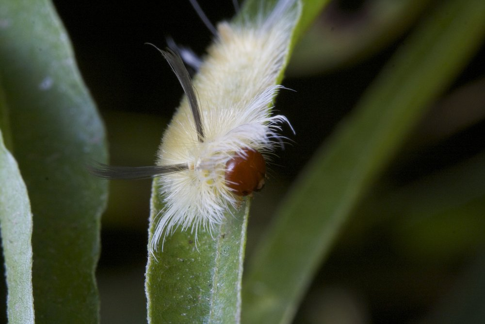 A tussock moth caterpillar often found on willow oak