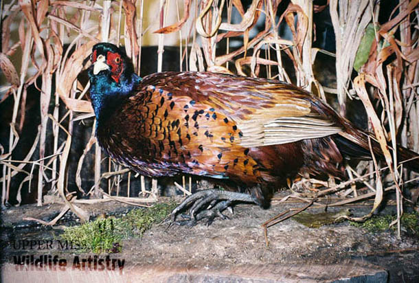 birds_pheasant_dark.jpg