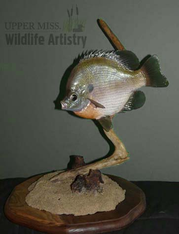 fish_bluegill_11in.jpg