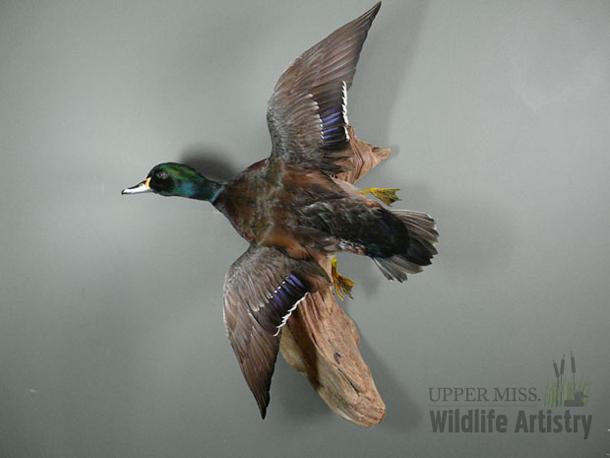 birds_mallard_wood.jpg