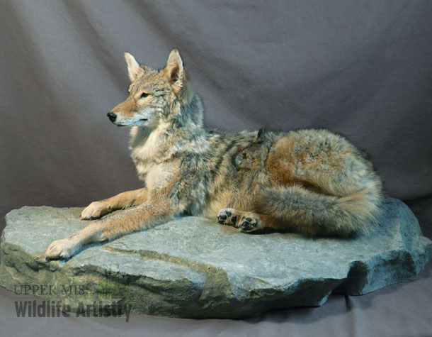 lifesize_coyote_base.jpg