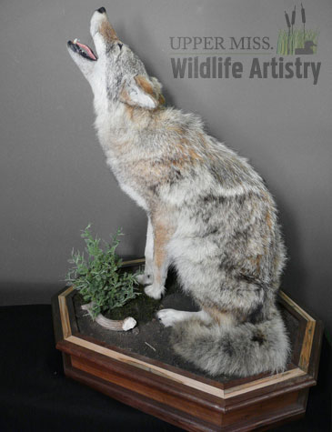 lifesize_coyote_full.jpg