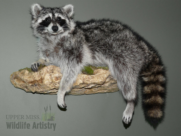 lifesize_raccoon.jpg