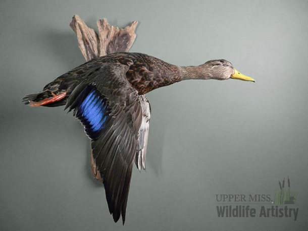 birds_blackduck.jpg
