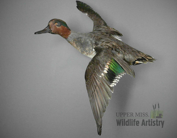 birds_greenwinged_teal.jpg