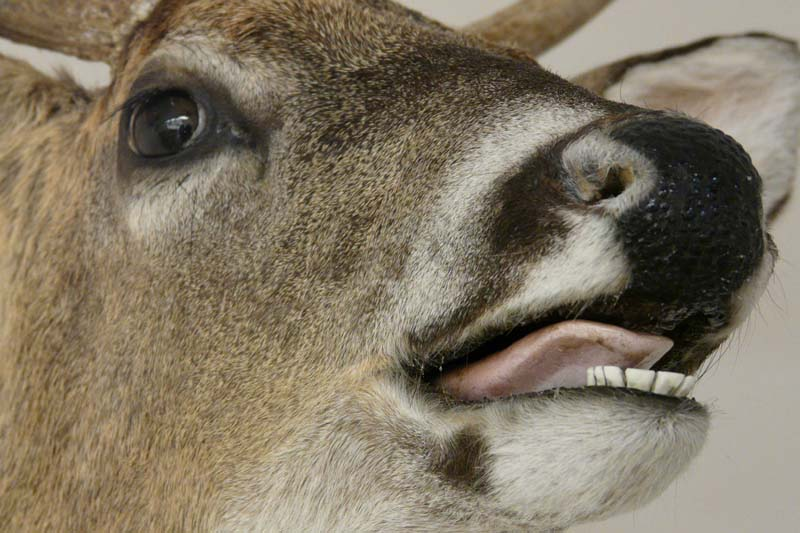 zzwhitetail-open-mouth.jpg