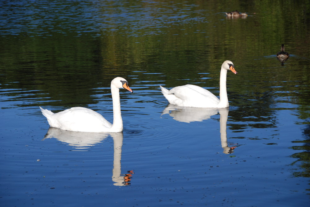 Swans Sept 2008 023.jpg