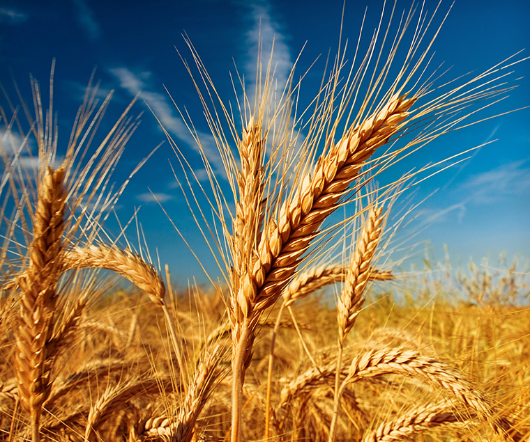 bigstock-Wheat-field-against-a-blue-sky-27081983.jpg