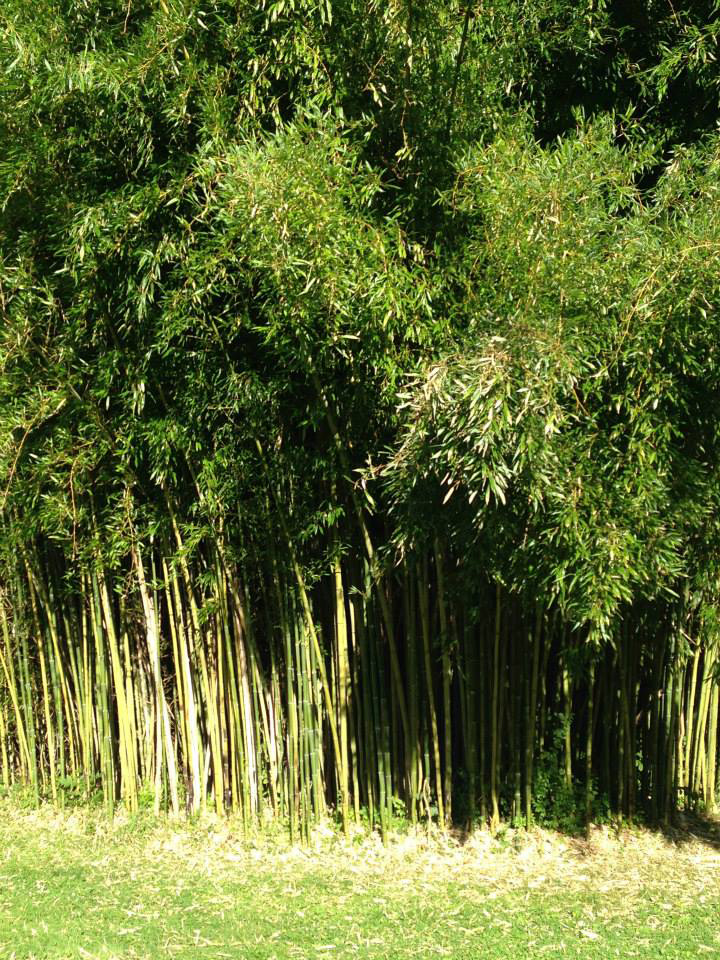 Garrison Institute.Lush bamboo grove.