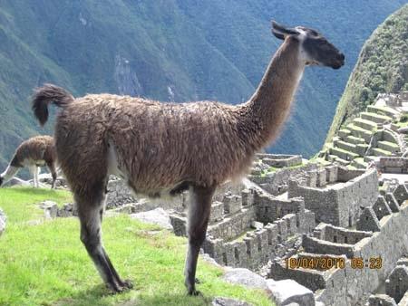 Machu Pichu resident.jpg