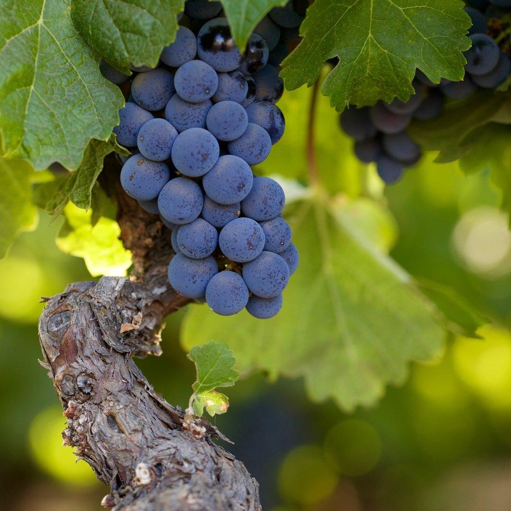 napa valley vines