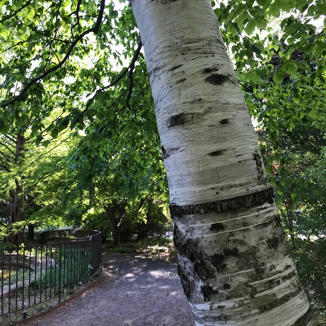Birch tree in Snug Harbor Cultural Center, one of my favorite places to knit