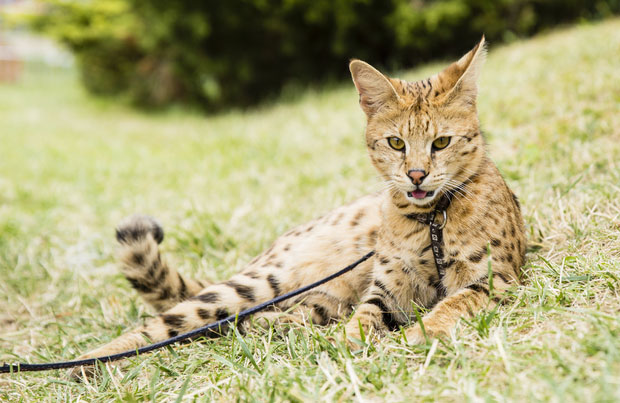 Are F1 Hybrid Savannah Cats Suitable as Pets? — Mobile Vet
