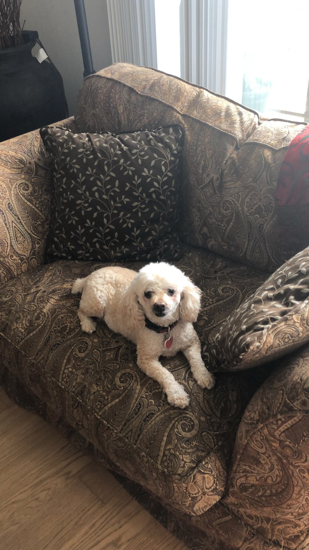 My poodle, Cayenne.