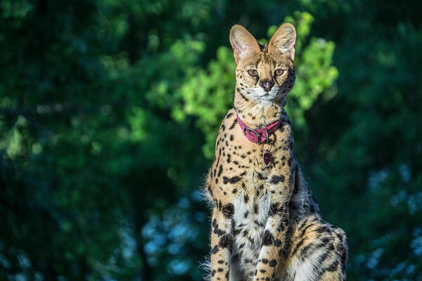 Why Are F1 Savannah Cats So Expensive Elite Veterinary Care