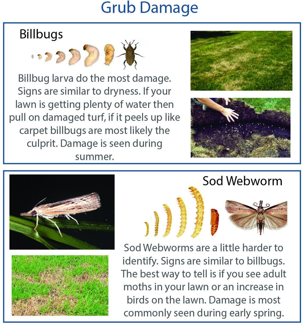Salt Lake City common Grubs billbugs sod webworm spring summer dry lawn could be grubs.jpg