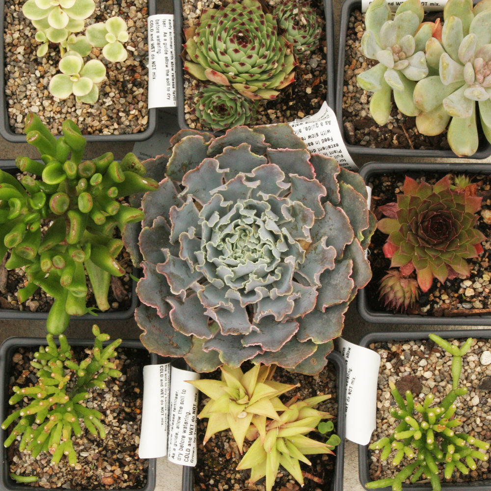 Succulents - 4 for $20