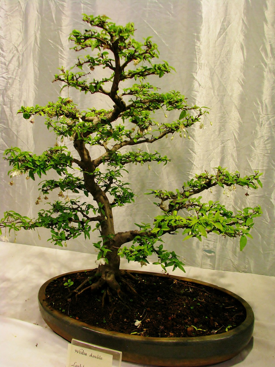 bonsai-tree-390754_1280.jpg