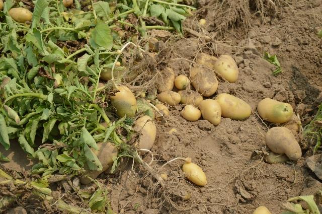 potato-373822_1920 (640x425).jpg