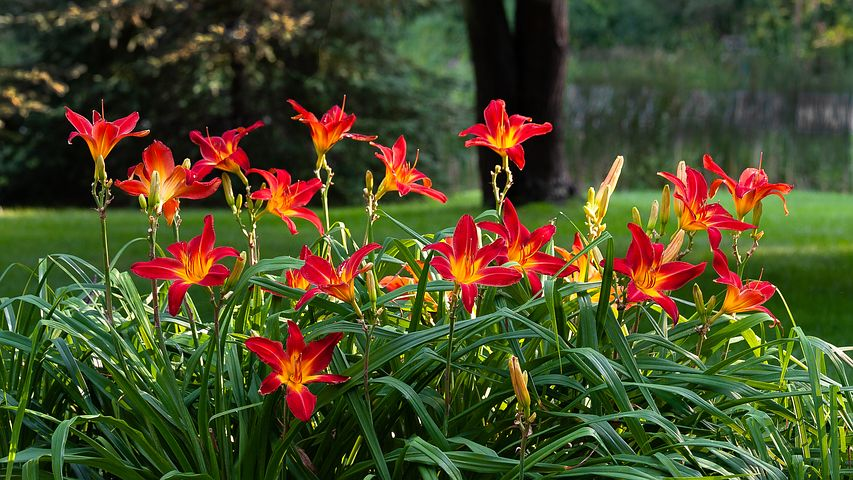 daylilies-3590709__480.jpg