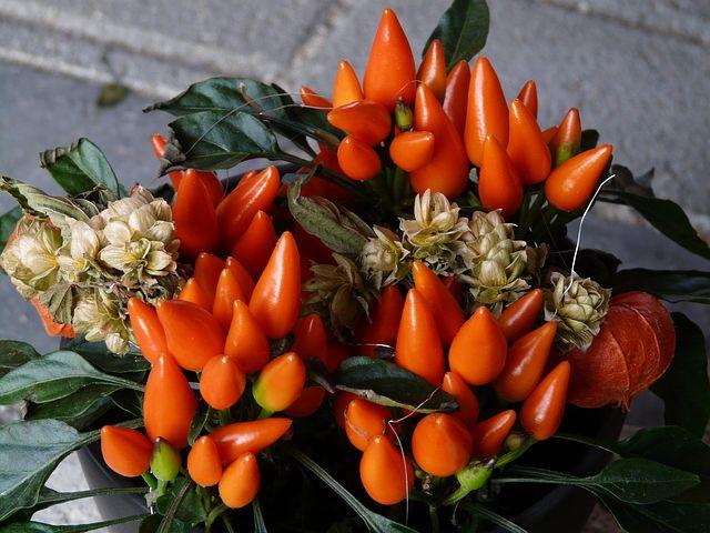 ornamental-peppers-60399__480.jpg