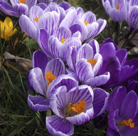 Crocus Giant Pickwick