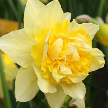 Daffodil Double Art Design