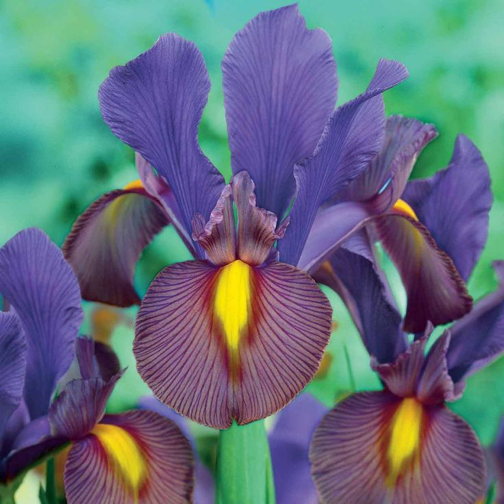 Dutch Iris Tiger Eye