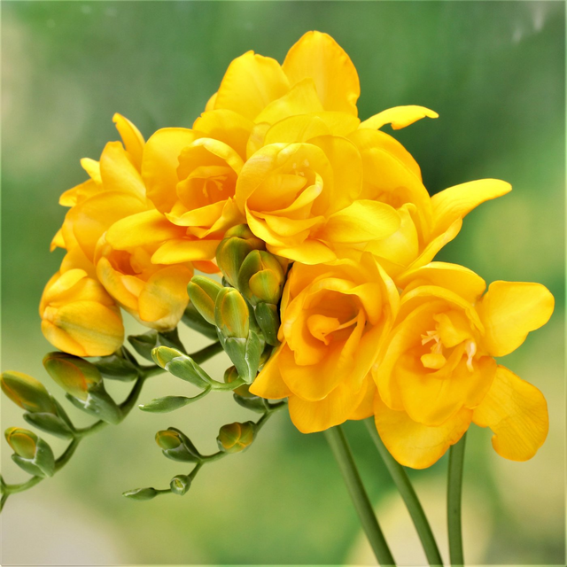 Freesia Double Golden Wave