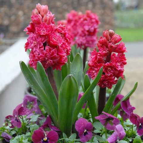 Hyacinth Double Red Diamond