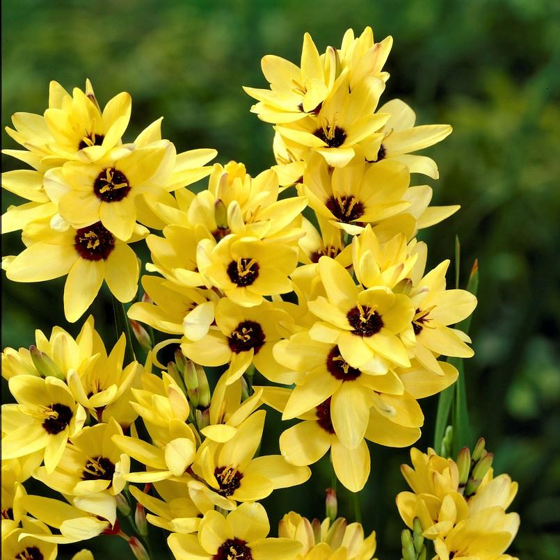 Ixia Yellow Giant