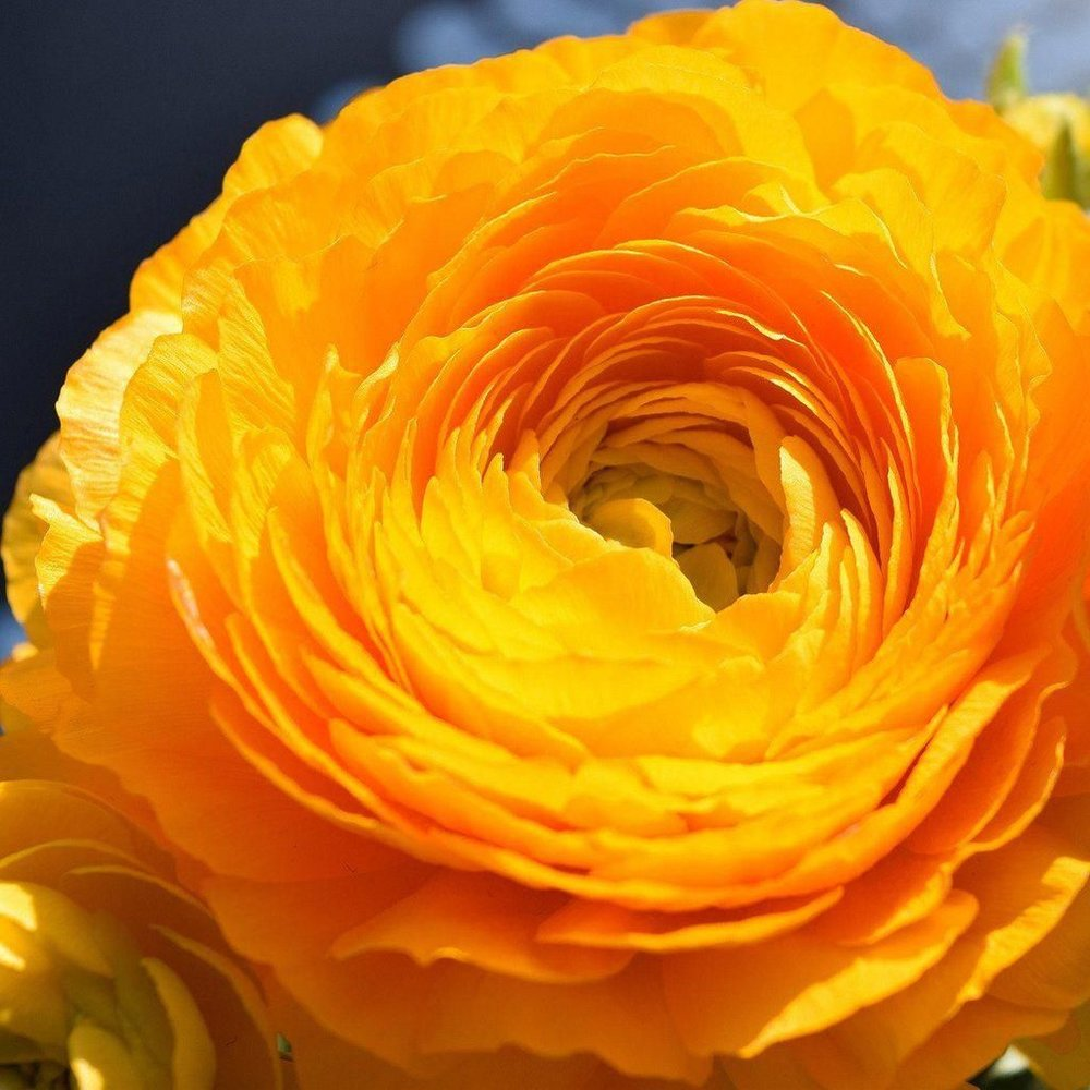 Rananculus Gold