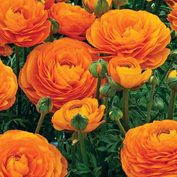 Rananculus Orange