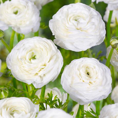 Rananculus White