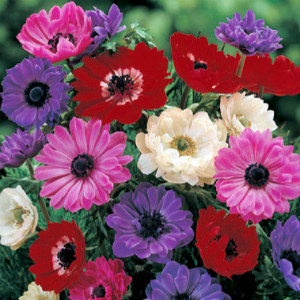 Anemone St Brigid Mix