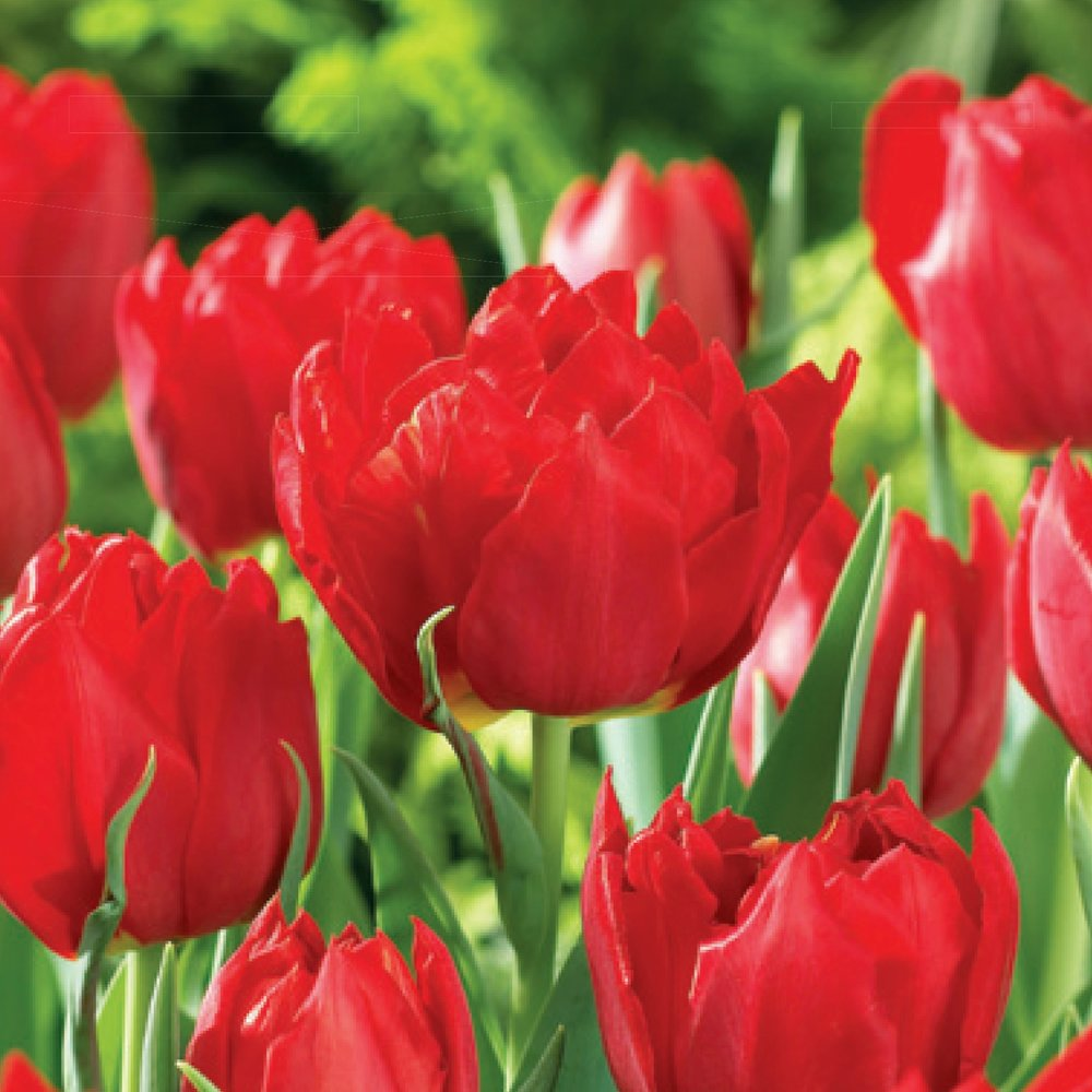 Tulip Double Abba