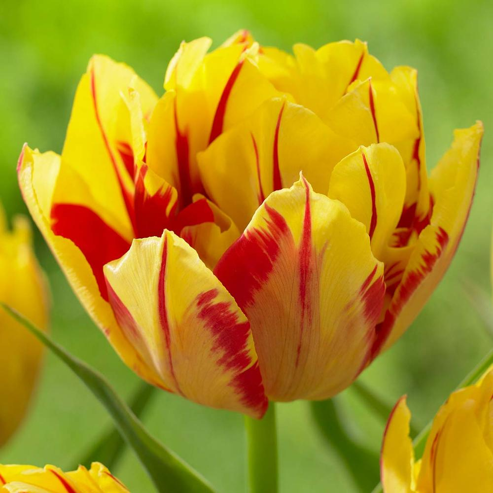 Tulip Double Monsella