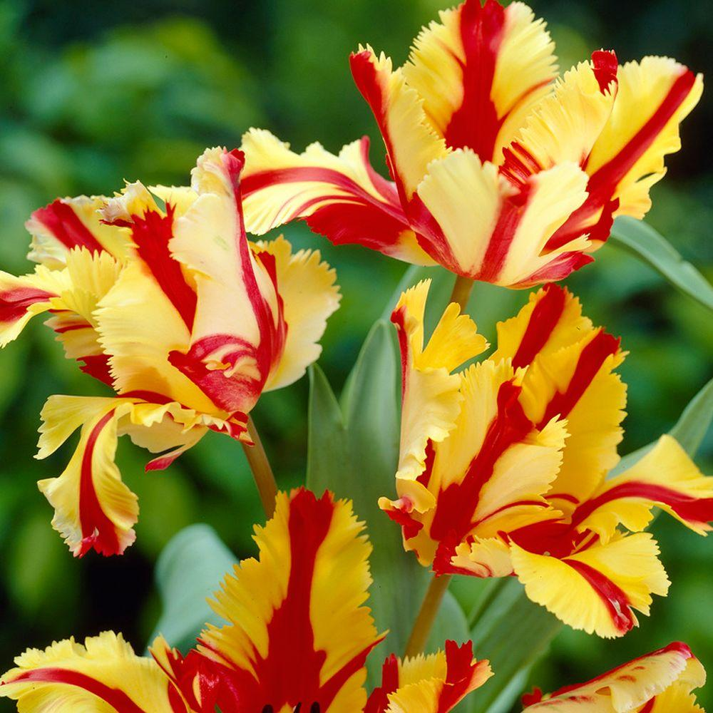 Tulip Flaming Parrot