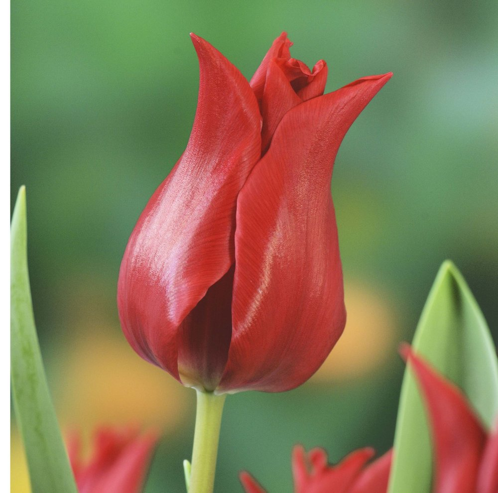 Tulip Pretty Woman
