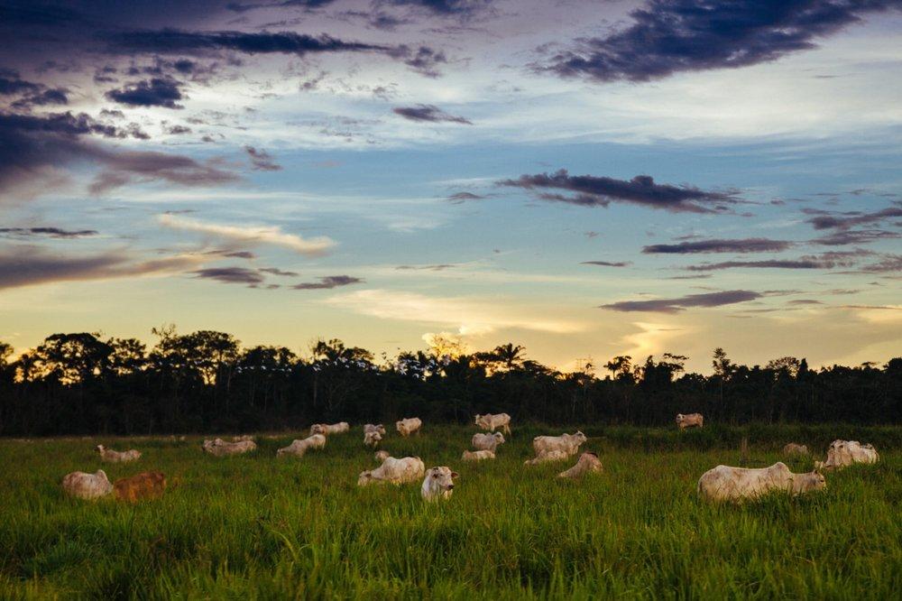 brasil cattle grazing.jpeg