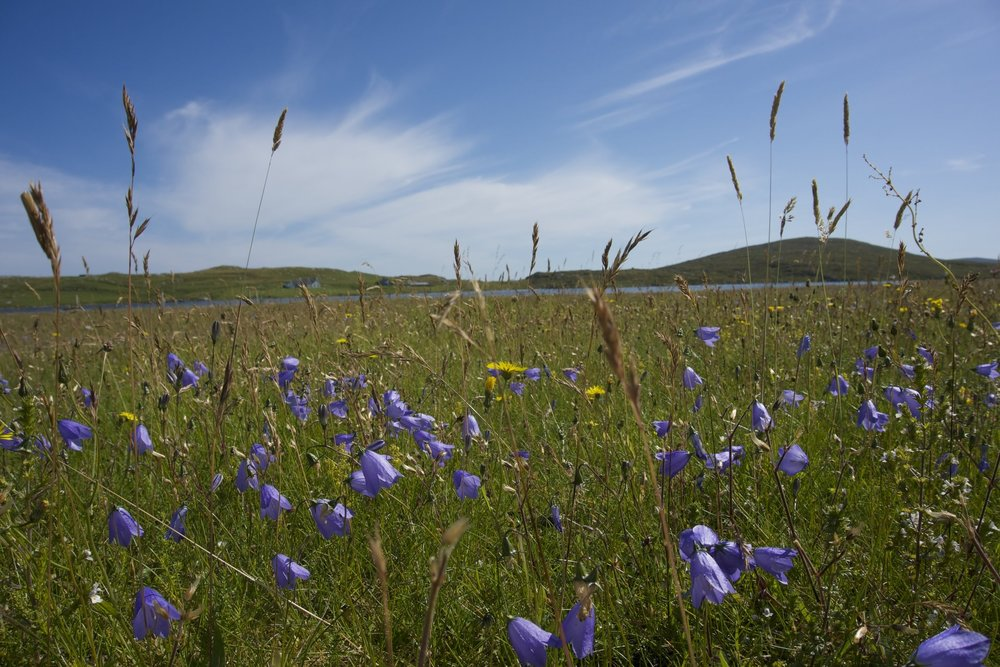 Machair flowers.jpg