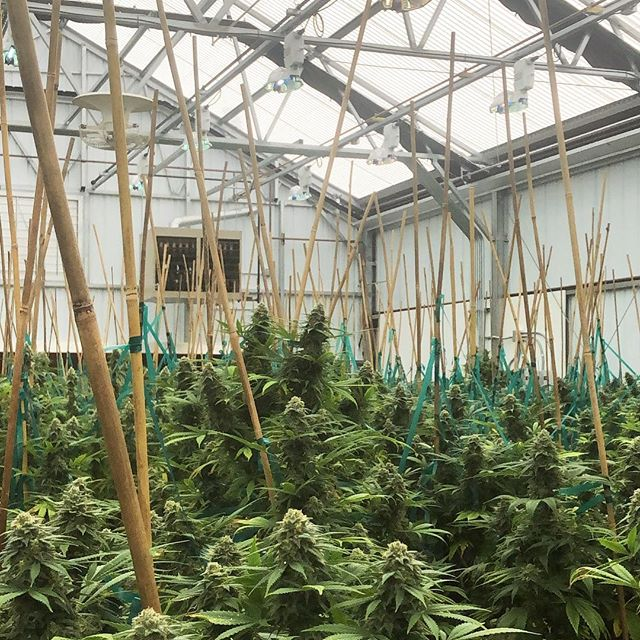 """""""Agriculture is our wisest pursuit, because it will in the end contribute most to real wealth, good morals, and happiness!"""" 💡 #cannabis #wisdom #plants #flower #weed #oregon #greenhouse #agriculture"""