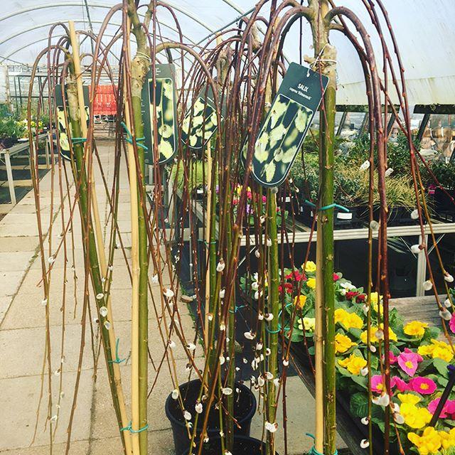 #spring #flowers #catkins #gardencentres #gardennursery #plants #gardening #lovemygarden #loveyourgarden