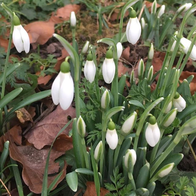 Spring? First snowdrops of the year.  #garden #gardening #trees #shrubs #plants #containergardening #optoutside #getoutdoors #backyard #backyarddesign #gardendesign #healthyliving #healthylifestyle #health #lifting #landscaping