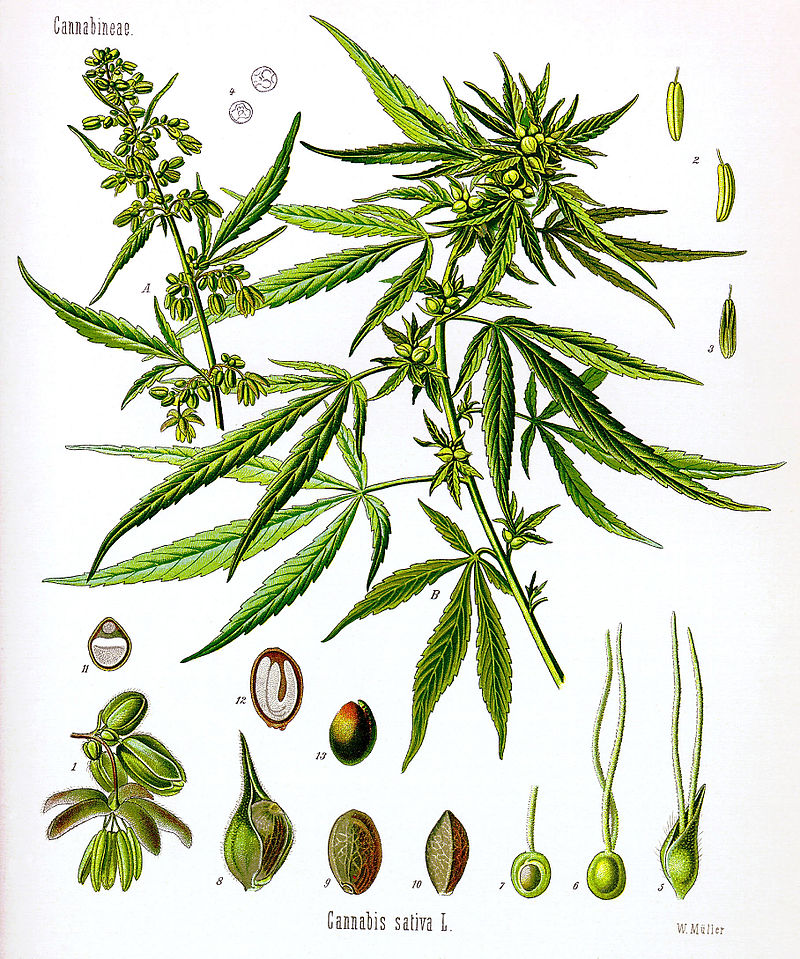 https://en.wikipedia.org/wiki/Cannabis