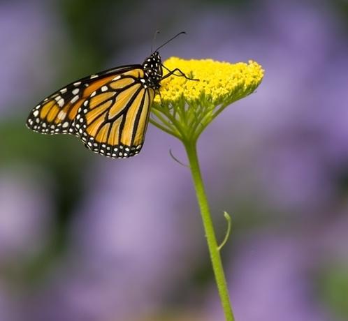 butterfly.purple1.jpg